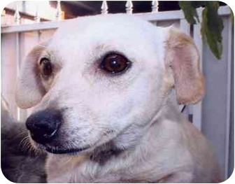 Terrier (Unknown Type, Small) Mix Dog for adoption in Los Angeles, California - Frank