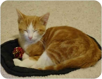 Domestic Shorthair Cat for adoption in Chicago, Illinois - Demetrius