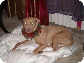 Weimaraner/American Staffordshire Terrier Mix Dog for adoption in Burbank, California - MACY