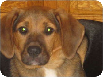 Beagle/Shepherd (Unknown Type) Mix Puppy for adoption in Worcester, Massachusetts - Trickster