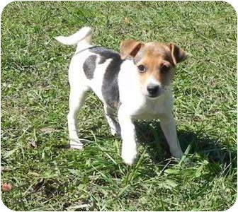 Chihuahua/Jack Russell Terrier Mix Puppy for adoption in Allentown, Pennsylvania - Ellie Mae