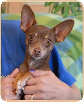 Chihuahua Dog for adoption in Las Vegas, Nevada - Heartbreaker