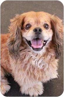 Cavalier King Charles Spaniel/Cocker Spaniel Mix Dog for adoption in San Clemente, California - Brownie