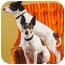 Photo 4 - Rat Terrier/Boston Terrier Mix Dog for adoption in Portland, Oregon - Macie & Dot