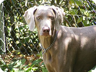 Weimaraner Dog for adoption in Toledo, Ohio - CALLIE