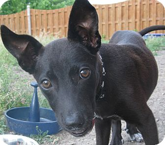 Labrador Retriever Mix Puppy for adoption in Schaumburg, Illinois - Reese