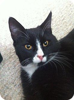 Domestic Shorthair Cat for adoption in Edmonton, Alberta - George