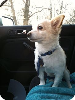 Corgi Mix Dog for adoption in Shirley, New York - Mr. Fluffy
