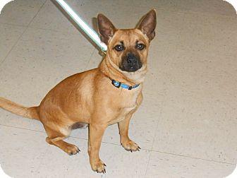 Rat Terrier Dog for adoption in Lockhart, Texas - Banjo