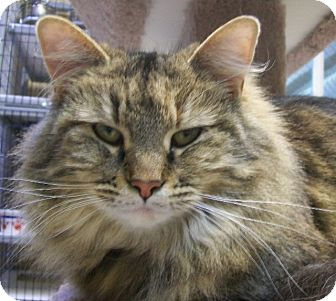Domestic Mediumhair Cat for adoption in Grants Pass, Oregon - Lydia