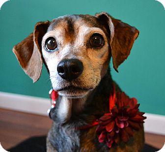 Rat Terrier Mix Dog for adoption in Troy, Michigan - Miri