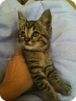 Domestic Shorthair Kitten for adoption in Corona, California - BABY DEE