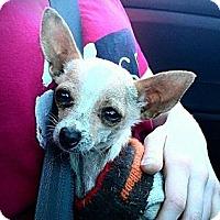 Adopt A Pet :: Koda - Teacup Chi Boy - Seattle, WA