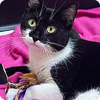 Adopt A Pet :: Tootsie - Chicago, IL
