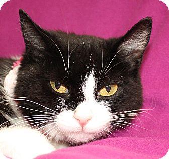 Domestic Shorthair Cat for adoption in Jackson, Michigan - Josephine