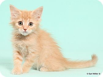 Domestic Longhair Kitten for adoption in Las Vegas, Nevada - Tangerine