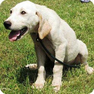 Labrador Retriever Mix Puppy for adoption in Huntsville, Alabama - Riley