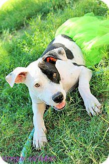 American Pit Bull Terrier/Labrador Retriever Mix Dog for adoption in Gilbert, Arizona - Molly