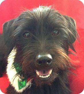 Fin Adopted Dog Charlotte Nc Scottie Scottish Terrier Dachshund Mix