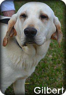 Labrador Retriever Mix Dog for adoption in Beaumont, Texas - Gilbert