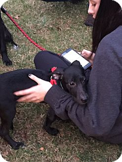 Terrier (Unknown Type, Small) Mix Puppy for adoption in Brick, New Jersey - Auggie