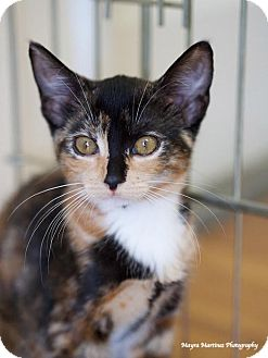 Domestic Shorthair Kitten for adoption in Nashville, Tennessee - Hiro