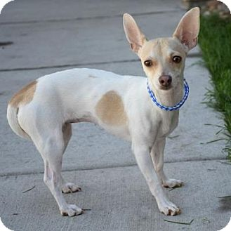 Chihuahua Mix Dog for adoption in Denver, Colorado - Roslyn