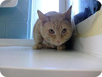 Domestic Shorthair Cat for adoption in Balto, Maryland - Big Boy