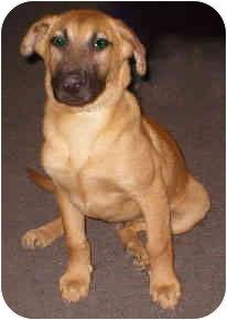 German Shepherd Dog/Rhodesian Ridgeback Mix Puppy for adoption in Vista, California - Brownie