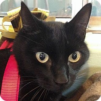 Domestic Shorthair Cat for adoption in Port Angeles, Washington - Lucy