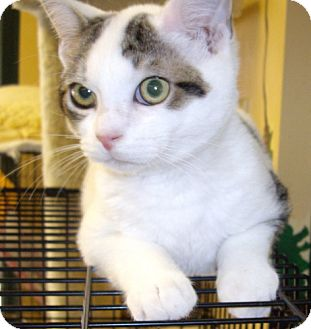 Domestic Shorthair Cat for adoption in Lovingston, Virginia - Kitten 13537
