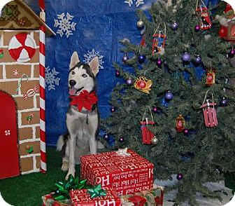 Siberian Husky Dog for adoption in Memphis, Tennessee - LILLIE