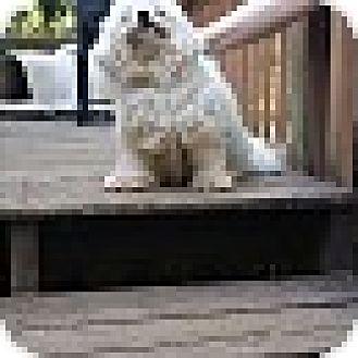 Poodle (Miniature)/Bichon Frise Mix Dog for adoption in Richmond, Virginia - Ivory