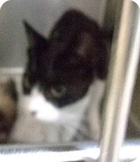 Domestic Shorthair Cat for adoption in Simcoe, Ontario - Prissa