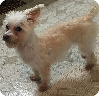 Westie, West Highland White Terrier/Terrier (Unknown Type, Small) Mix Dog for adoption in Frisco, Texas - TATER TO HAS BEEN ADOPTED-