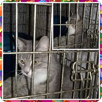 Domestic Shorthair Kitten for adoption in Cedar Springs, Michigan - Millie