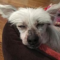 Adopt A Pet :: Stanley Roper (NY) - Gilford, NH