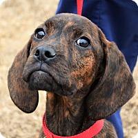 Adopt A Pet :: *Shiloh - PENDING - Westport, CT