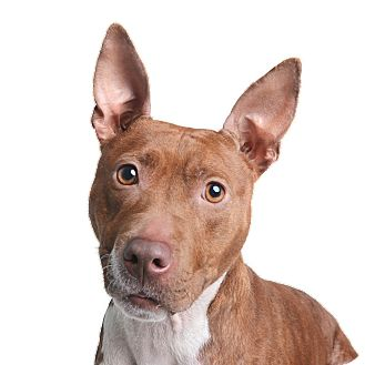 Mixed Breed (Medium)/Pit Bull Terrier Mix Dog for adoption in Wilmington, Delaware - Bambi