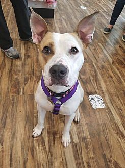 American Pit Bull Terrier Mix Dog for adoption in West Allis, Wisconsin - Ryelee