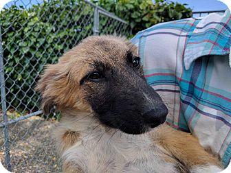 Anatolian Shepherd Mix Puppy for adoption in Pleasanton, California - Bristol