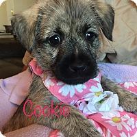 Adopt A Pet :: Cookie - Brea, CA
