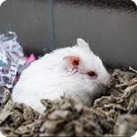 Adopt A Pet :: Venus - Des Moines, IA