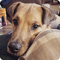 Shepherd (Unknown Type) Mix Dog for adoption in St. Cloud, Minnesota - Ollie - WAITING 462 DAYS FOR HIS FOREVER FAMILY!