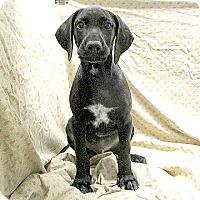 Adopt A Pet :: 17-d07-010 Apollo - Fayetteville, TN