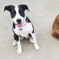 Adopt A Pet :: Stormie al - Harrah, OK
