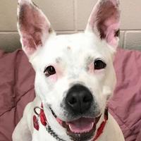 Adopt A Pet :: BellaRose - Wenatchee, WA