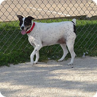 Jack Russell Terrier Mix Dog for adoption in Wheaton, Illinois - Jack
