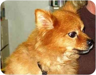 Finnish Spitz Dog for adoption in Osseo, Minnesota - Max