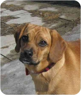 Pug/Beagle Mix Puppy for adoption in Ile-Perrot, Quebec - Lea